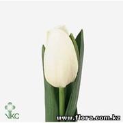 Тюльпан White Heaven фото