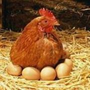 Яйца куриные(С1)пищевые оптом фото