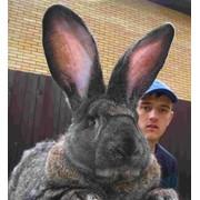 Продажа племенных кроликов-гигантов породы Обер. фото