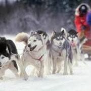 Участие собачей упряжки в рекламе и съемках фото
