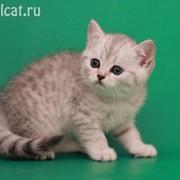 Британские котята, как в рекламе вискас фото