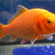 Карпы КОИ оранжевые 6 месяцев фото