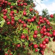 Боярышник кроваво-красный (цвет) 30г фото