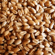 Griu, Пшеница на экспорт, Wheat фото