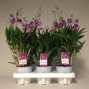 Орхидея Дендробиум Берри Ода -- Dendrobium Berry Oda фото
