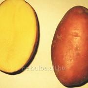 Картофель вид Манифест 2 РС фото