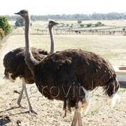 Премиксы для страусов фото