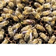 Пчеломатка плодная: Краинка Nieskа / Бакфаст фото