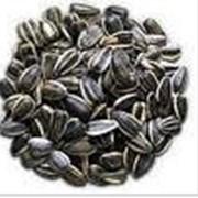 Подсолнечники семена фото