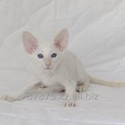 Сиамский породистый котенок с документами клуба WCF фото