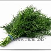 Укроп зеленый свежий фото