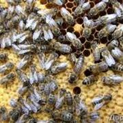 Пчелопакеты оптом, в розницу фото