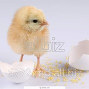 Цыплята суточные в ПМР фото