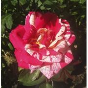 Саженцы роз флорибунда Монтеагро (Сербия) фото