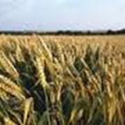 Уборка урожая, сои, рапса, кукурузы, подсолнечника фото