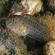 Рыба Морская собачка Parablennius sanguinolentus фото