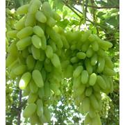 Дамский пальчик виноград Сезон сбора: август-декабрь фото