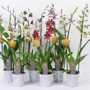 Орхидея Камбрия микс -- Cambria mixed фото