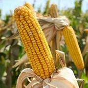 Производство кукурузного масла фото