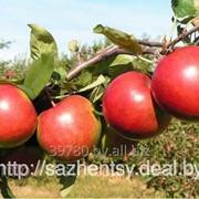 Яблоня Поспех фото