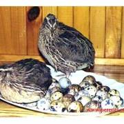 Перепела, яйцо перепелиное фото