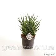 Сансевиерия трёхполосная -- Sansevieria trifasciata фото