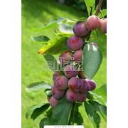 Замазка для деревьев фото