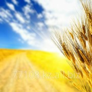 Закуп зерна пшеницы, ячменя, фуража, масличных культур фото