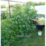 Шпалерная сеть Cucumber фото
