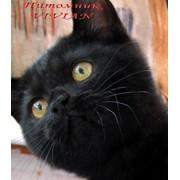 Британские черные котята фото
