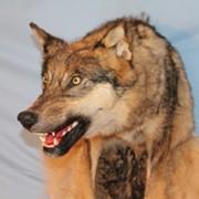 Голова волка фото
