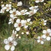 Чайное дерево отдушка-10 мл фото