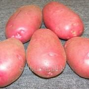 Картофель посевной Альвара 2 РС фото