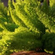 Семена комнатного растения Аспарагус Мейера фото