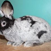 Чистопородные кролики фото