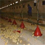 Поилки для птицефабрик фото
