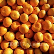 Абхазские мандарины фото