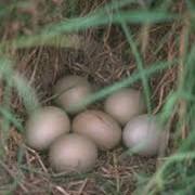 Яйцо фазана фото