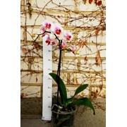 Phalaenopsis (Орхідея)11 фото