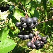 Рябина черноплодная сушеная фото