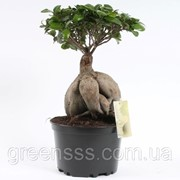 Фикус микрокарпа «женьшень» -- Ficus microcarpa Ginseng фото