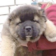 Кавказской овчарки щенок фото