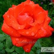 Роза Angelique фото