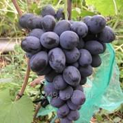 Виноград ранне-среднего срока созревания Фуршетный фото