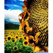 Семена подсолнечника сорт Гена фото