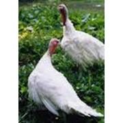 Птица домашняя свежая, индейки фото