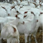 Зааненские козы. Стадо. фото