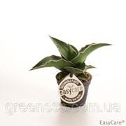 Сансевиерия цилиндрическая -- Sansevieria cylindrica фото
