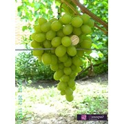 Виноград Аксинья фото