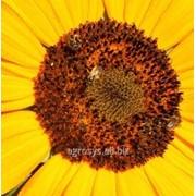 Семена подсолнечника СИ Эксперто (SI Esperto) фото